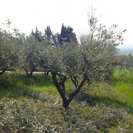 curadelverde.com-cura-del-verde-macerata-treeclimbing-potatura-alberi-alto-fusto-fruttiferi-alberi-da-frutto-olivi-viti-vigna-siepi-giardinaggio-Treeclimbing-Olivi.PA063