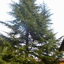 curadelverde.com-cura-del-verde-macerata-treeclimbing-potatura-alberi-alto-fusto-fruttiferi-alberi-da-frutto-olivi-viti-vigna-siepi-giardinaggio-TCCedro2