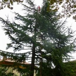 curadelverde.com-cura-del-verde-macerata-treeclimbing-potatura-alberi-alto-fusto-fruttiferi-alberi-da-frutto-olivi-viti-vigna-siepi-giardinaggio-TCCedro9