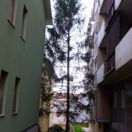 curadelverde.com-cura-del-verde-macerata-treeclimbing-potatura-alberi-alto-fusto-fruttiferi-alberi-da-frutto-olivi-viti-vigna-siepi-giardinaggio-Treeclimbing Abete 01