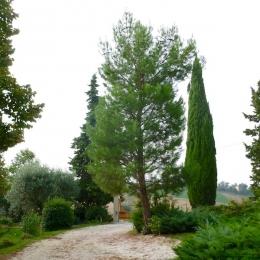 curadelverde.com-cura-del-verde-macerata-treeclimbing-potatura-alberi-alto-fusto-fruttiferi-alberi-da-frutto-olivi-viti-vigna-siepi-giardinaggio-Treeclimbing-Pino.Aleppo6.01