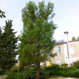curadelverde.com-cura-del-verde-macerata-treeclimbing-potatura-alberi-alto-fusto-fruttiferi-alberi-da-frutto-olivi-viti-vigna-siepi-giardinaggio-Treeclimbing-Pino.Aleppo6.02