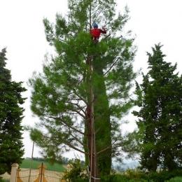 curadelverde.com-cura-del-verde-macerata-treeclimbing-potatura-alberi-alto-fusto-fruttiferi-alberi-da-frutto-olivi-viti-vigna-siepi-giardinaggio-Treeclimbing-Pino.Aleppo6.06