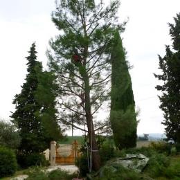 curadelverde.com-cura-del-verde-macerata-treeclimbing-potatura-alberi-alto-fusto-fruttiferi-alberi-da-frutto-olivi-viti-vigna-siepi-giardinaggio-Treeclimbing-Pino.Aleppo6.07