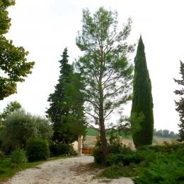 curadelverde.com-cura-del-verde-macerata-treeclimbing-potatura-alberi-alto-fusto-fruttiferi-alberi-da-frutto-olivi-viti-vigna-siepi-giardinaggio-Treeclimbing-Pino.Aleppo6.09