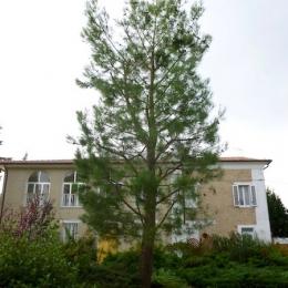 curadelverde.com-cura-del-verde-macerata-treeclimbing-potatura-alberi-alto-fusto-fruttiferi-alberi-da-frutto-olivi-viti-vigna-siepi-giardinaggio-Treeclimbing-Pino.Aleppo6.10