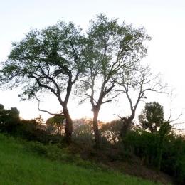 curadelverde.com-cura-del-verde-macerata-treeclimbing-potatura-alberi-alto-fusto-fruttiferi-alberi-da-frutto-olivi-viti-vigna-siepi-giardinaggio-Treeclimbing-QuerciaCiv.002