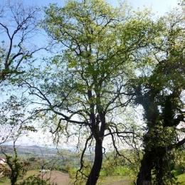 curadelverde.com-cura-del-verde-macerata-treeclimbing-potatura-alberi-alto-fusto-fruttiferi-alberi-da-frutto-olivi-viti-vigna-siepi-giardinaggio-Treeclimbing-QuerciaCiv2.001