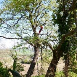 curadelverde.com-cura-del-verde-macerata-treeclimbing-potatura-alberi-alto-fusto-fruttiferi-alberi-da-frutto-olivi-viti-vigna-siepi-giardinaggio-Treeclimbing-QuerciaCiv2.009
