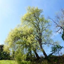 curadelverde.com-cura-del-verde-macerata-treeclimbing-potatura-alberi-alto-fusto-fruttiferi-alberi-da-frutto-olivi-viti-vigna-siepi-giardinaggio-Treeclimbing-QuerciaCiv2.016