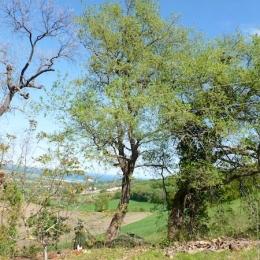 curadelverde.com-cura-del-verde-macerata-treeclimbing-potatura-alberi-alto-fusto-fruttiferi-alberi-da-frutto-olivi-viti-vigna-siepi-giardinaggio-Treeclimbing-QuerciaCiv2.026