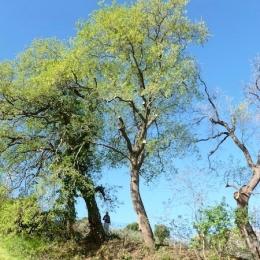 curadelverde.com-cura-del-verde-macerata-treeclimbing-potatura-alberi-alto-fusto-fruttiferi-alberi-da-frutto-olivi-viti-vigna-siepi-giardinaggio-Treeclimbing-QuerciaCiv2.027
