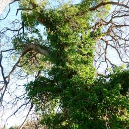curadelverde.com-cura-del-verde-macerata-treeclimbing-potatura-alberi-alto-fusto-fruttiferi-alberi-da-frutto-olivi-viti-vigna-siepi-giardinaggio-Treeclimbing-QuerciaCiv3.001