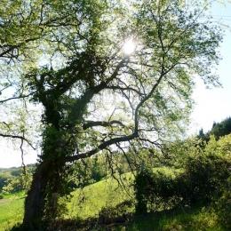 curadelverde.com-cura-del-verde-macerata-treeclimbing-potatura-alberi-alto-fusto-fruttiferi-alberi-da-frutto-olivi-viti-vigna-siepi-giardinaggio-Treeclimbing-QuerciaCiv3.003