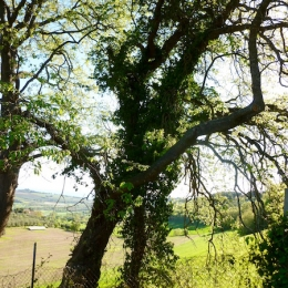 curadelverde.com-cura-del-verde-macerata-treeclimbing-potatura-alberi-alto-fusto-fruttiferi-alberi-da-frutto-olivi-viti-vigna-siepi-giardinaggio-Treeclimbing-QuerciaCiv3.004
