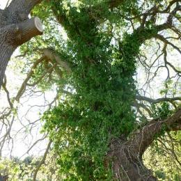 curadelverde.com-cura-del-verde-macerata-treeclimbing-potatura-alberi-alto-fusto-fruttiferi-alberi-da-frutto-olivi-viti-vigna-siepi-giardinaggio-Treeclimbing-QuerciaCiv3.006
