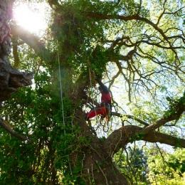 curadelverde.com-cura-del-verde-macerata-treeclimbing-potatura-alberi-alto-fusto-fruttiferi-alberi-da-frutto-olivi-viti-vigna-siepi-giardinaggio-Treeclimbing-QuerciaCiv3.013
