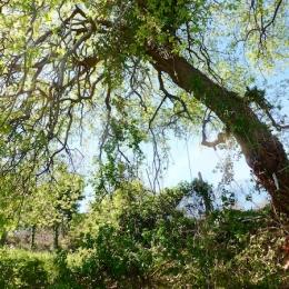 curadelverde.com-cura-del-verde-macerata-treeclimbing-potatura-alberi-alto-fusto-fruttiferi-alberi-da-frutto-olivi-viti-vigna-siepi-giardinaggio-Treeclimbing-QuerciaCiv3.014