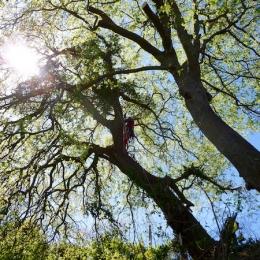 curadelverde.com-cura-del-verde-macerata-treeclimbing-potatura-alberi-alto-fusto-fruttiferi-alberi-da-frutto-olivi-viti-vigna-siepi-giardinaggio-Treeclimbing-QuerciaCiv3.017