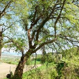 curadelverde.com-cura-del-verde-macerata-treeclimbing-potatura-alberi-alto-fusto-fruttiferi-alberi-da-frutto-olivi-viti-vigna-siepi-giardinaggio-Treeclimbing-QuerciaCiv3.021