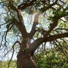 curadelverde.com-cura-del-verde-macerata-treeclimbing-potatura-alberi-alto-fusto-fruttiferi-alberi-da-frutto-olivi-viti-vigna-siepi-giardinaggio-Treeclimbing-QuerciaCiv3.023