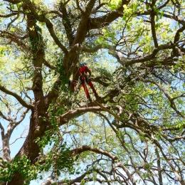 curadelverde.com-cura-del-verde-macerata-treeclimbing-potatura-alberi-alto-fusto-fruttiferi-alberi-da-frutto-olivi-viti-vigna-siepi-giardinaggio-Treeclimbing-QuerciaCiv3.025