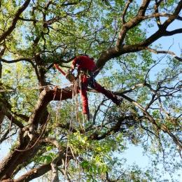 curadelverde.com-cura-del-verde-macerata-treeclimbing-potatura-alberi-alto-fusto-fruttiferi-alberi-da-frutto-olivi-viti-vigna-siepi-giardinaggio-Treeclimbing-QuerciaCiv3.031