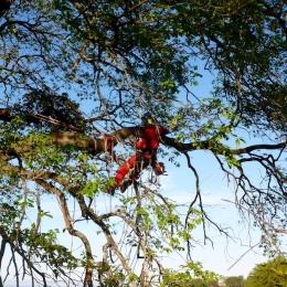curadelverde.com-cura-del-verde-macerata-treeclimbing-potatura-alberi-alto-fusto-fruttiferi-alberi-da-frutto-olivi-viti-vigna-siepi-giardinaggio-Treeclimbing-QuerciaCiv3.036