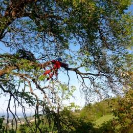 curadelverde.com-cura-del-verde-macerata-treeclimbing-potatura-alberi-alto-fusto-fruttiferi-alberi-da-frutto-olivi-viti-vigna-siepi-giardinaggio-Treeclimbing-QuerciaCiv3.038