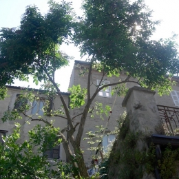 curadelverde.com-cura-del-verde-macerata-treeclimbing-potatura-alberi-alto-fusto-fruttiferi-alberi-da-frutto-olivi-viti-vigna-siepi-giardinaggio-Treeclimbing-Sambuco05