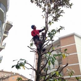 curadelverde.com-cura-del-verde-macerata-treeclimbing-potatura-alberi-alto-fusto-fruttiferi-alberi-da-frutto-olivi-viti-vigna-siepi-giardinaggio-Treeclimbing-T.C.Magn.06