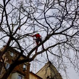 curadelverde.com-cura-del-verde-macerata-treeclimbing-potatura-alberi-alto-fusto-fruttiferi-alberi-da-frutto-olivi-viti-vigna-siepi-giardinaggio-Treeclimbing-T.C.Noce.08