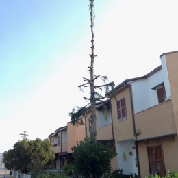 curadelverde.com-cura-del-verde-macerata-treeclimbing-potatura-alberi-alto-fusto-fruttiferi-alberi-da-frutto-olivi-viti-vigna-siepi-giardinaggio-abbattimento-abetePas02
