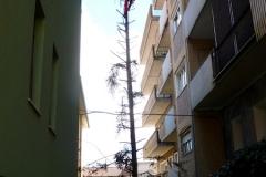 curadelverde.com-cura-del-verde-macerata-treeclimbing-potatura-alberi-alto-fusto-fruttiferi-alberi-da-frutto-olivi-viti-vigna-siepi-giardinaggio-Treeclimbing Abete 08