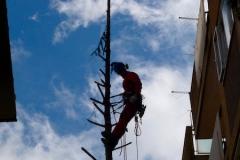 curadelverde.com-cura-del-verde-macerata-treeclimbing-potatura-alberi-alto-fusto-fruttiferi-alberi-da-frutto-olivi-viti-vigna-siepi-giardinaggio-Treeclimbing Abete 11