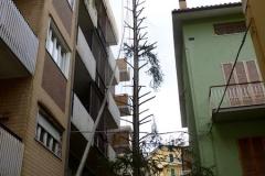 curadelverde.com-cura-del-verde-macerata-treeclimbing-potatura-alberi-alto-fusto-fruttiferi-alberi-da-frutto-olivi-viti-vigna-siepi-giardinaggio-Treeclimbing Abete 12