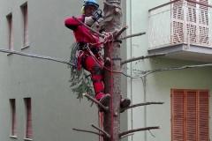 curadelverde.com-cura-del-verde-macerata-treeclimbing-potatura-alberi-alto-fusto-fruttiferi-alberi-da-frutto-olivi-viti-vigna-siepi-giardinaggio-Treeclimbing Abete 18