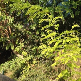 curadelverde.com-cura-del-verde-macerata-treeclimbing-potatura-alberi-alto-fusto-fruttiferi-alberi-da-frutto-olivi-viti-vigna-siepi-giardinaggio-man.let.3