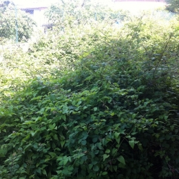curadelverde.com-cura-del-verde-macerata-treeclimbing-potatura-alberi-alto-fusto-fruttiferi-alberi-da-frutto-olivi-siepi-giardinaggio-giardiniere-giardino-manutenzione-verde-bonifica-R.7