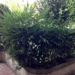 curadelverde.com-cura-del-verde-macerata-treeclimbing-potatura-alberi-alto-fusto-fruttiferi-alberi-da-frutto-olivi-viti-vigna-siepi-giardinaggio-Treeclimbing-CdV02.07