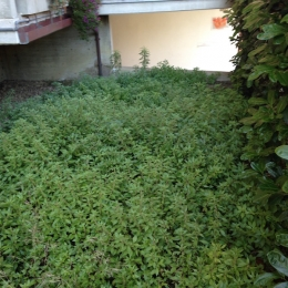 curadelverde.com-cura-del-verde-macerata-treeclimbing-potatura-alberi-alto-fusto-fruttiferi-alberi-da-frutto-olivi-viti-vigna-siepi-giardinaggio-Treeclimbing-CdV05.02