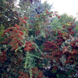 curadelverde.com-cura-del-verde-macerata-treeclimbing-potatura-alberi-alto-fusto-fruttiferi-alberi-da-frutto-olivi-viti-vigna-siepi-giardinaggio-Treeclimbing-GiardinaggioAN05