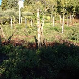 curadelverde.com-cura-del-verde-macerata-treeclimbing-potatura-alberi-alto-fusto-fruttiferi-alberi-da-frutto-olivi-viti-vigna-siepi-giardinaggio-man.cor.3