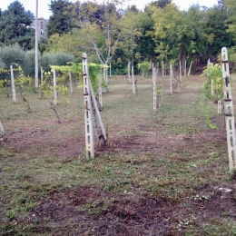curadelverde.com-cura-del-verde-macerata-treeclimbing-potatura-alberi-alto-fusto-fruttiferi-alberi-da-frutto-olivi-viti-vigna-siepi-giardinaggio-man.cor.4