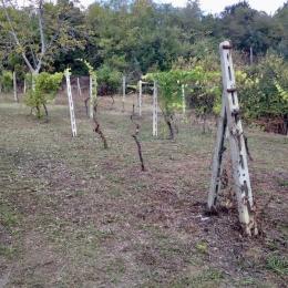 curadelverde.com-cura-del-verde-macerata-treeclimbing-potatura-alberi-alto-fusto-fruttiferi-alberi-da-frutto-olivi-viti-vigna-siepi-giardinaggio-man.cor.6'