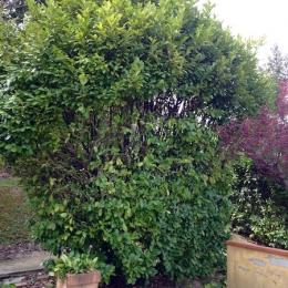 curadelverde.com-cura-del-verde-macerata-treeclimbing-potatura-alberi-alto-fusto-fruttiferi-alberi-da-frutto-olivi-viti-vigna-siepi-giardinaggio-man.giar.ssm.002