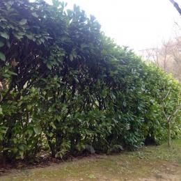 curadelverde.com-cura-del-verde-macerata-treeclimbing-potatura-alberi-alto-fusto-fruttiferi-alberi-da-frutto-olivi-viti-vigna-siepi-giardinaggio-man.giar.ssm.009