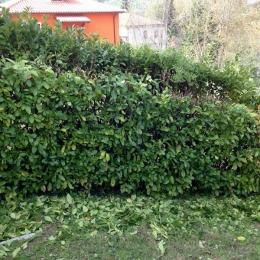curadelverde.com-cura-del-verde-macerata-treeclimbing-potatura-alberi-alto-fusto-fruttiferi-alberi-da-frutto-olivi-viti-vigna-siepi-giardinaggio-man.giar.ssm.010