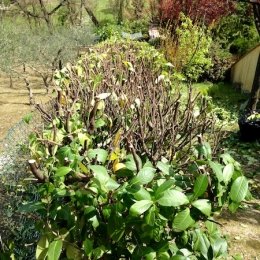 curadelverde.com-cura-del-verde-macerata-treeclimbing-potatura-alberi-alto-fusto-fruttiferi-alberi-da-frutto-olivi-viti-vigna-siepi-giardinaggio-man.giar.ssm.016