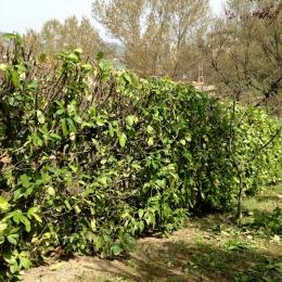 curadelverde.com-cura-del-verde-macerata-treeclimbing-potatura-alberi-alto-fusto-fruttiferi-alberi-da-frutto-olivi-viti-vigna-siepi-giardinaggio-man.giar.ssm.017